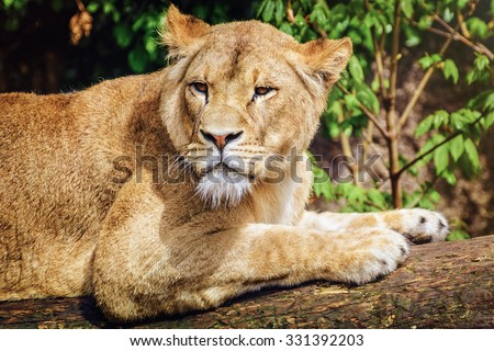 Portrait of Lioness Lying on the Log - stock photo