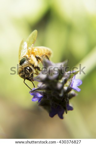 Portrait of live bee. Bee digging into a flower. The insect flies around the flower, macro photography living wildlife. - stock photo