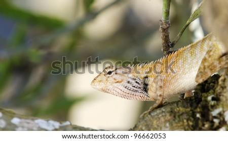 Portrait of lizard species (acanthosaura capra) on old branch tree. - stock photo