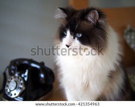Portrait of Long Haired Bi-Color Brown White Blue Eyed Ragdoll Cat sitting with Vintage Black Rotary Phone - stock photo