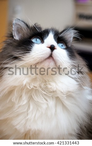 Portrait of Long Haired Bi-Color Brown White Blue Eyed Ragdoll Cat with Black Button Nose Looking Upwards - stock photo