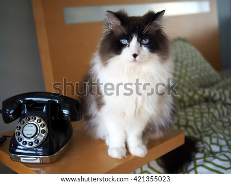 Portrait of Long Haired Bi-Color Brown White Ragdoll Cat sitting with Vintage Black Rotary Phone on Side Table with Chic Bed in Background - stock photo