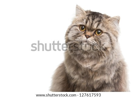 Portrait of lovely grey persian kitten sitting on isolated white white background - stock photo