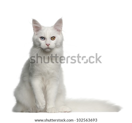 Portrait of Maine Coon cat, 5 months old, sitting in front of white background - stock photo