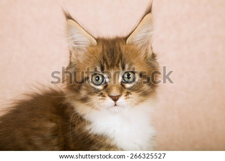 Portrait of Maine Coon kitten against beige background - stock photo