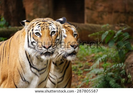 portrait of Malayan Tiger - stock photo