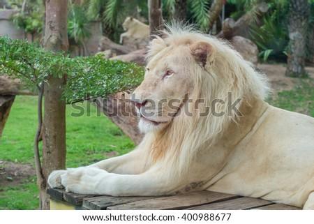 Portrait of male African white lion in safari. - stock photo