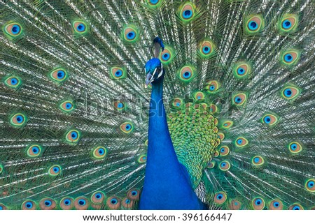 Portrait of male Indian peacock with feathers out. - stock photo
