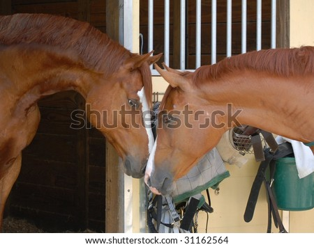 Portrait of matched pair of chestnut horses nose-to-nose at the barn.  The barn is painted faded yellow and white. There is tack and equipment on the barn door behind the horses who are in profile. - stock photo