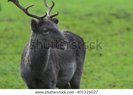 Portrait of mature fallow deer buck with winter dark unspotted coat with antlers - stock photo