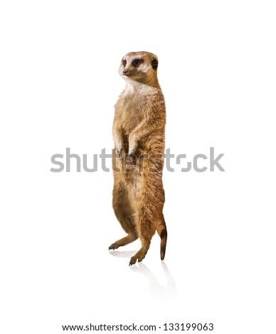 Portrait Of Meerkat Isolated On White Background - stock photo