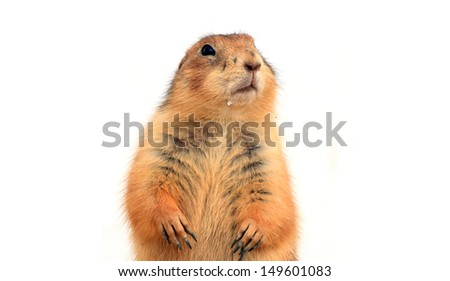 Portrait of meerkat  stand with isolated on white  background.  - stock photo