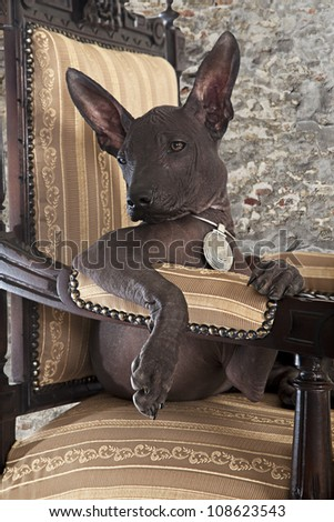 Portrait of Mexican xoloitzcuintle puppy posing on an antique chair - stock photo