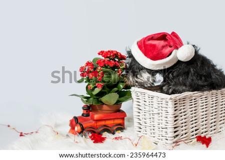portrait of miniature schnauzer in santa helper costume isolated over white background - stock photo