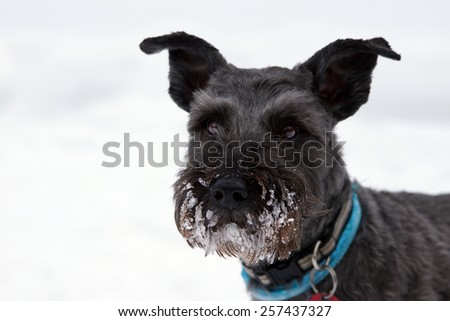 Portrait of miniature schnauzer playing in the snow - stock photo
