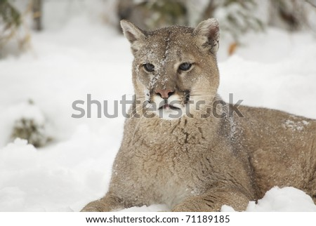 Portrait of Mountain Lion in winter snow during winter time - stock photo