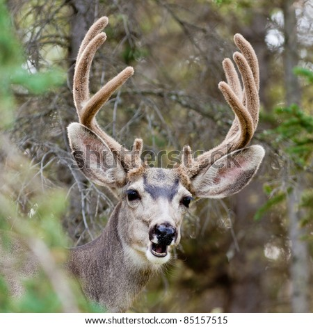 Portrait of mule deer buck (Odocoileus hemionus) with velvet antler showing a funny face. - stock photo