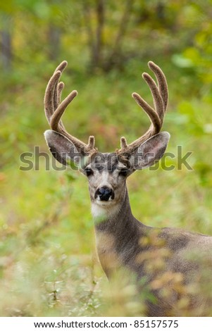 Portrait of mule deer buck (Odocoileus hemionus) with velvet antler staring from the woods. - stock photo