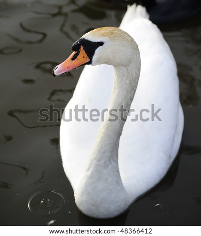 portrait of mute swan on a lake - stock photo