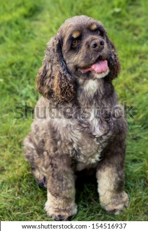 Portrait of nice American Cocker Spaniel - stock photo