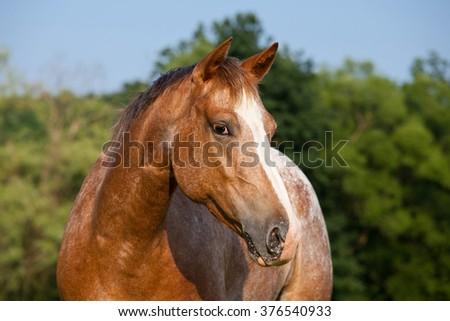 Portrait of nice appaloosa horse - stock photo