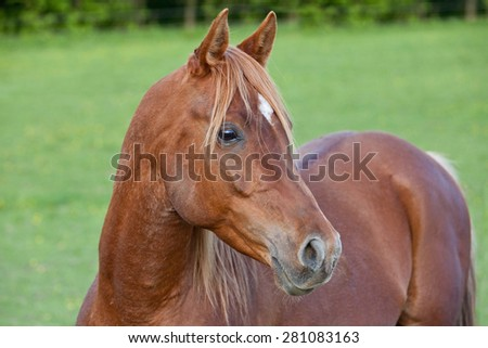 Portrait of nice arabian horse - stock photo