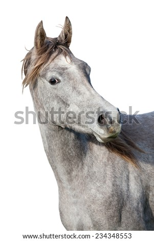 Portrait of nice arabian horse on white background - stock photo