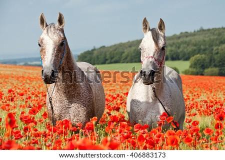 Portrait of nice arabian horses in red poppy field - stock photo