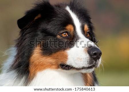 Portrait of nice Australian shepherd dog outdoors - stock photo