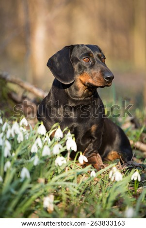 Portrait of nice Dachshund in spring forest - stock photo