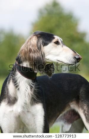 Portrait of nice dog - saluki - stock photo