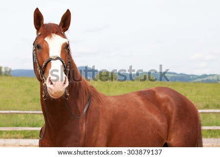 Portrait of  nice hot-blooded horse - stock photo