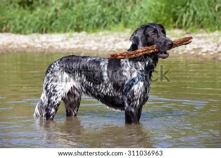 Portrait of nice large munsterlander dog on water - stock photo