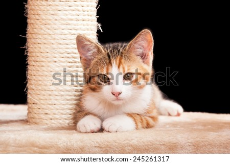 Portrait of nice laying kitten on black background - stock photo