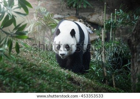 portrait of nice panda bear walking in summer environment - stock photo