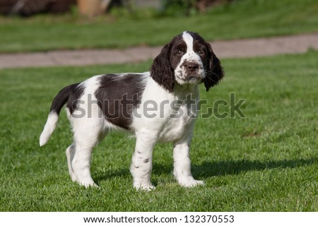 Portrait of nice puppy - english springer spaniel - stock photo