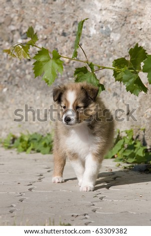 Portrait of nice puppy - sheltie - stock photo