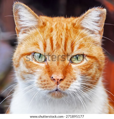 Portrait of nice red color cat - stock photo