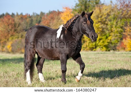 Portrait of nice shetland pony - stock photo