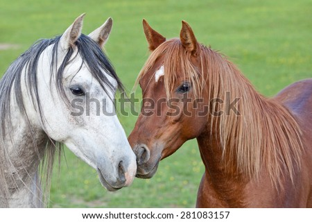 Portrait of nice two arabian horses - stock photo