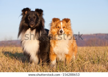 Portrait of nice two dogs - sheltie - stock photo
