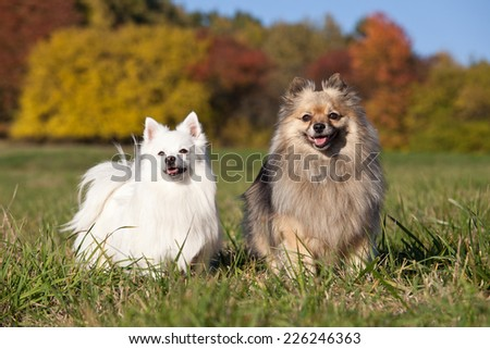 Portrait of nice two spitz - stock photo