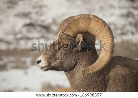 Portrait of North American Bighorn Sheep Ram - stock photo