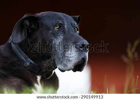Portrait of old black dog at the summer time - stock photo