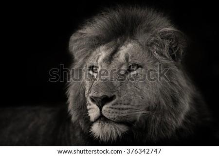 Portrait of one of the Rekero Lions in Masai Mara, Kenya - stock photo
