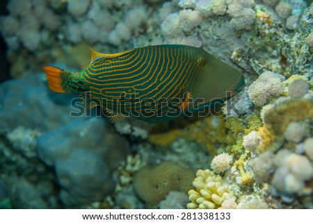 Portrait of Orange-striped triggerfish - Balistapus undulatus, while eating soft corals in the red sea - stock photo