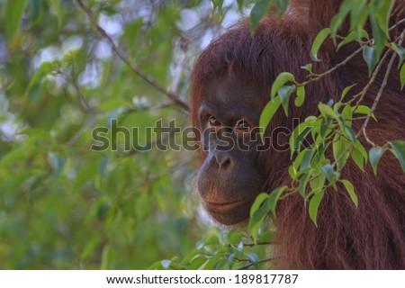 Portrait of Orangutan - stock photo