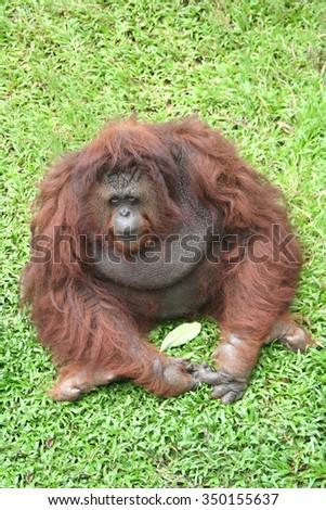 Portrait of Orangutan (Pongo pygmaeus) laughing with mouth wide open - stock photo