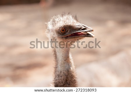 Portrait of Ostrich head close up or Australian Emu (Dromaius novaehollandiae). - stock photo