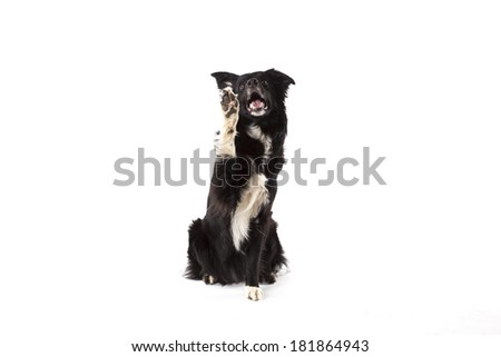 Portrait of paw giving border collie - stock photo